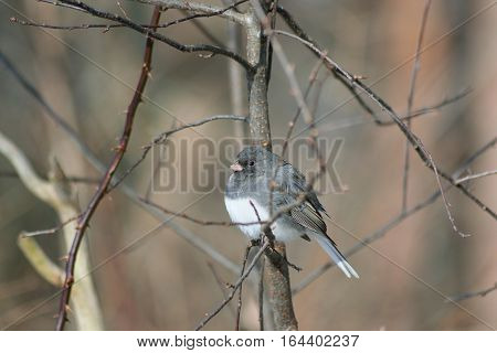 Dark Eyed Junco Perched On A Limb
