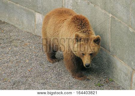 A big bear walking near the wall