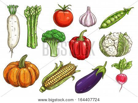 Vegetable sketch with isolated icons of tomato, bell pepper, garlic, eggplant, broccoli, corn and radish, pumpkin and green pea, asparagus, cauliflower. Agriculture and food theme design