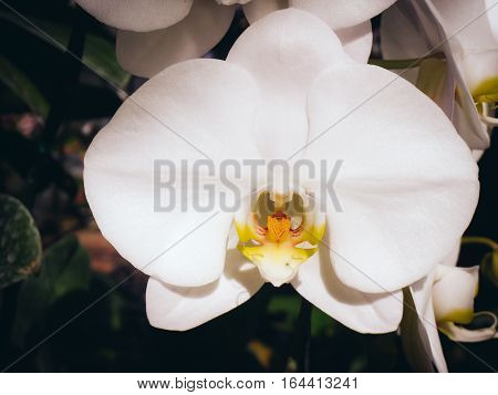 White orchids / Tropical orchids / Thai orchids