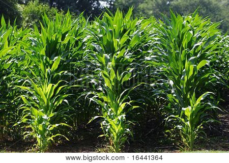 Rows of Corn