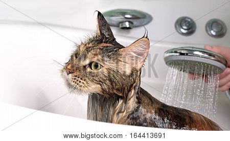 Cat bath. Wet cat. Girl washes a cat