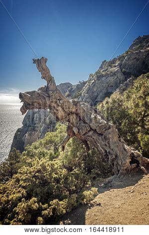 Crimea near the village of Novy Svet . Relic juniper and pine groves miraculously growing on rocks of the steep coast.