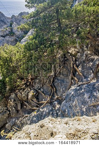 Crimea near the village of Novy Svet . Relic juniper and pine groves miraculously growing on rocks of the steep coast. Juniper roots penetrate the rocks in search of moisture and the support from the winds .