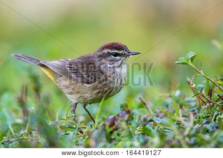 Palm warbler (Setophaga palmarum) on the ground