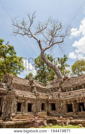 The Giant and old tree at Ta Prohm Angkor Wat SiemReap in Cambodia travelling destination.