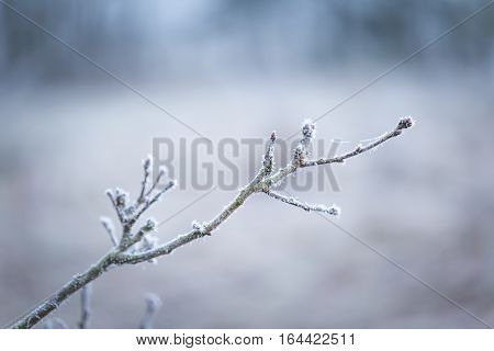 Tree Twig With Rime
