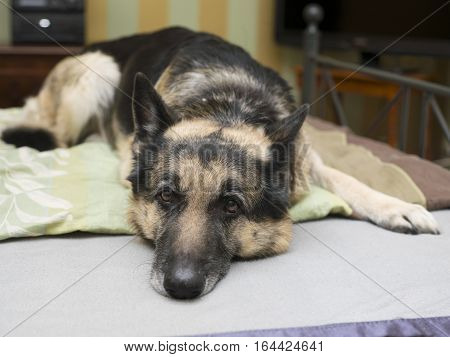 Naughty shepherd dog resting on the unmade bed selective focus closeup