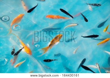 Little goldfish & Koi in Ponds for goldfish scooping game