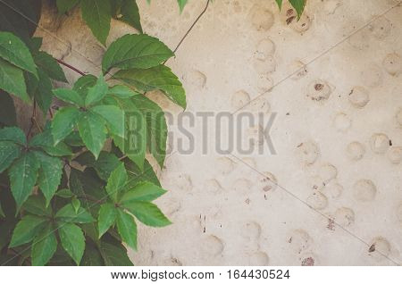 Green leaves of ivy (virginia creeper) on gray background of a cement wall with holes