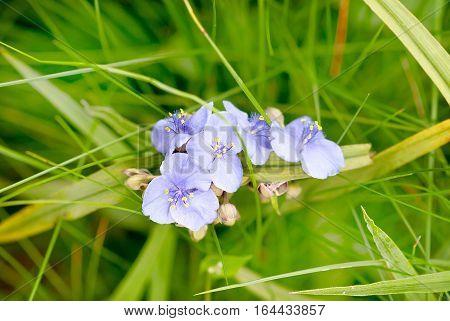 Blue flowers of Virginia spiderwort (Tradescantia virginiana) in garden