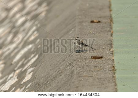 Sparrow on a concrete Danube river bed