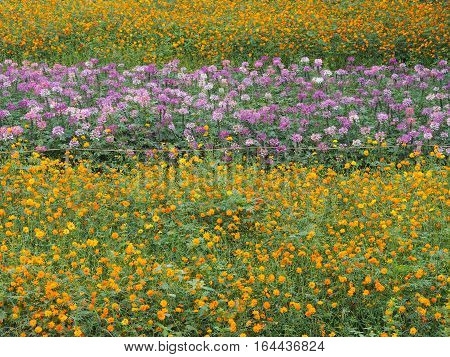 Colorful flower meadow in farm. Cleome spinosa and cosmos field.