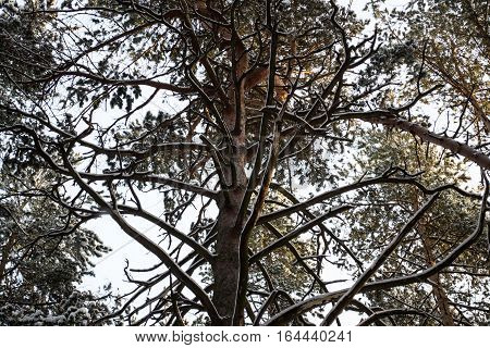 Winter pine foresttree branches in snowtops of the trees
