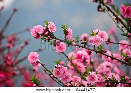 Closeup spring cherry blossom in the garden