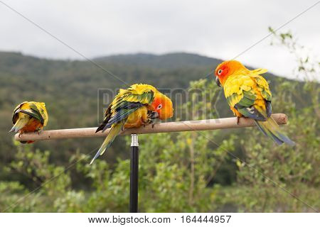 Sun Parakeet Or Sun Conure, The Beautiful Yellow And Orange Parrot Bird With Nice Feathers Details