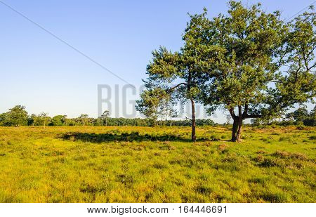 Dutch nature reserve on a sunny day in the summer season. The grass is yellowed. In the foreground are two scots pine trees.