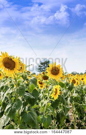 Summer Sunflower Field. Field Of Sunflowers With Blue Sky. A Sunflower Field At Sunset