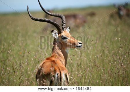 männlich Impala Masai Mara Kenia