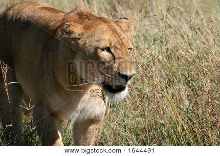 Lion in Serengeti Tansania