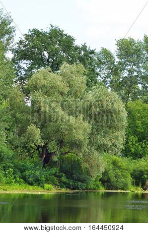 Weeping Willow Tree And Lake