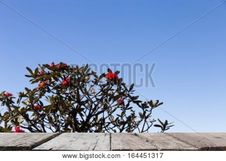 Blur Image Of Blooming Red Azalea Flower, Large Shrubs In The Park, Rhododendron With Selected Focus