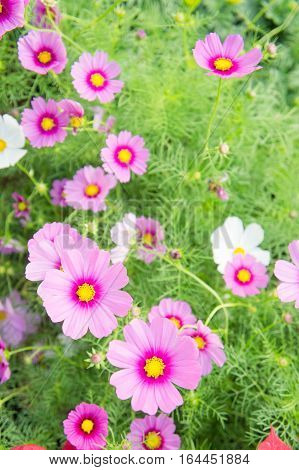 Cosmos flowers in the park Beautiful pink flowers in the garden colorful day