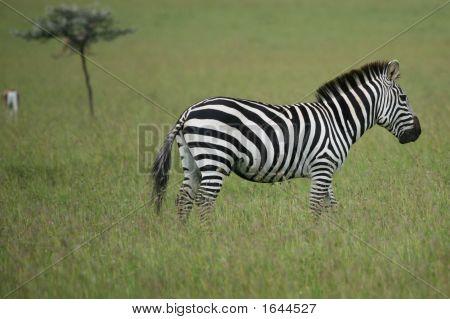 Zebra Masai Mara Kenia