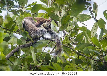 Grizzled giant squirrel in Minneriya national park, Sri Lanka; specie Ratufa macroura family of Sciuridae