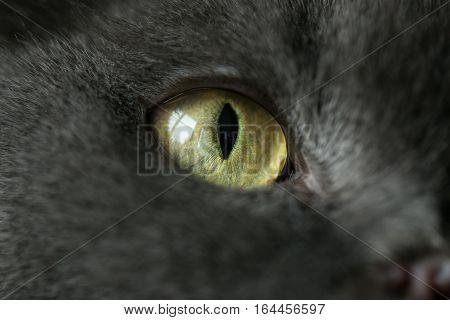 feline eye, black cat with a close angle