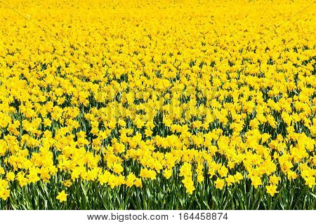 Field of yellow daffodil flowers blooming in spring panoramic background texture