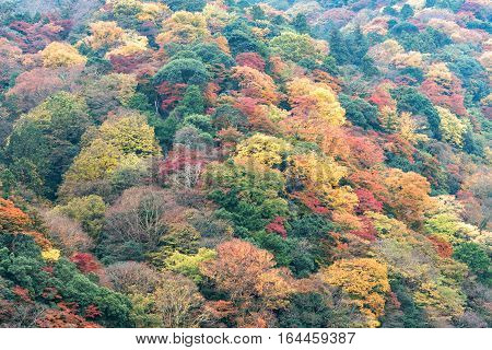 Colorful autumn foliage mountain forest Arashiyama area Kyoto Japan.