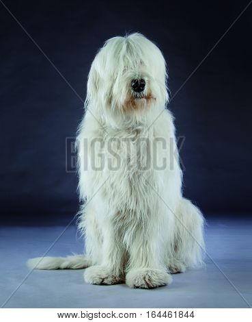 Russian sheepdog portrait in studio with grey background