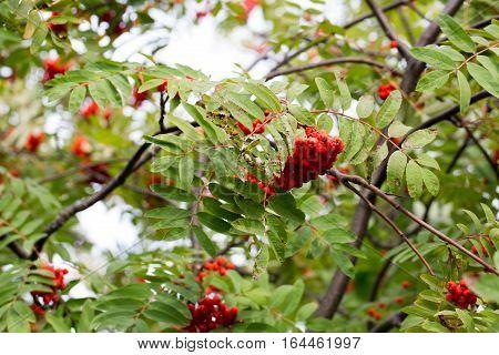 Large bunch of beautiful red Rowan photo for you