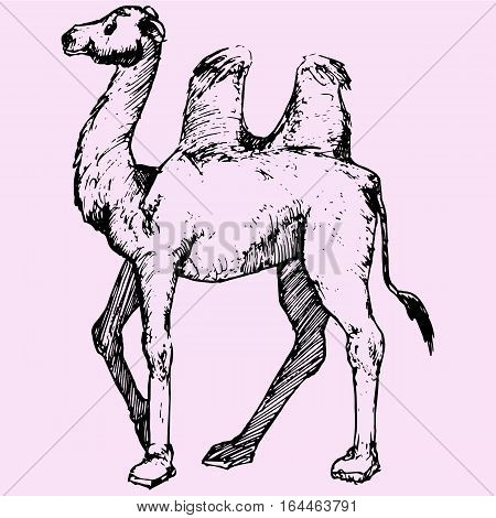 Bactrian camel, two-humped camel doodle style sketch illustration hand drawn vector