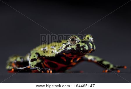 Fire bellied toad portrait in studio with grey background