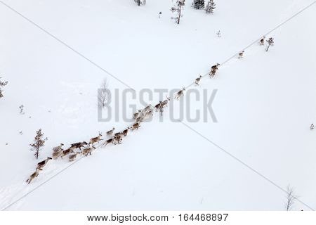 Aerial view of herd of reindeer which ran on snow in forest-tundra.