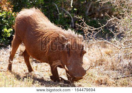 Warthog Kneeling Down On The Grass