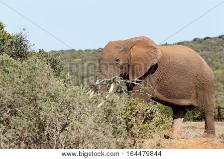 Bush Elephant With His Tusks In The Branches