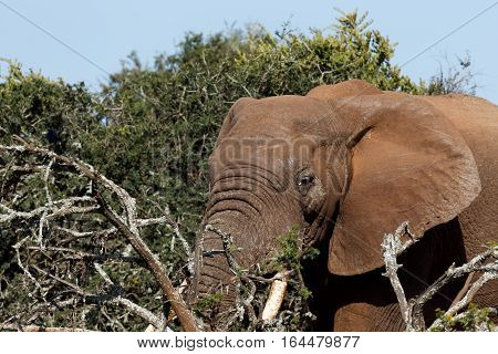 Close Up Of An  Elephant With His Tusks In The Branches