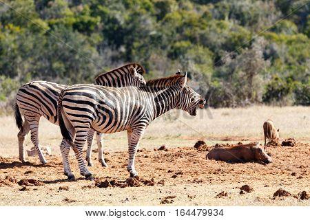 Burchells Zebra Having A Big Yawn