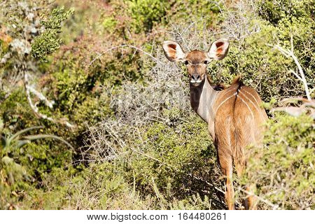 Female Kudu Turning Her Head To Look At You