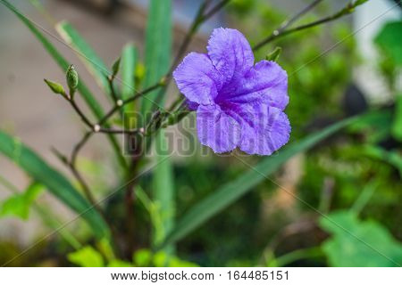 A purple flower in the garden Waterkanon