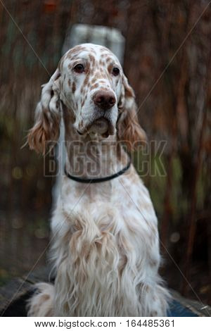 Regal big white dog with long hair and brown bright spots of hunting breed close up portrait - english setter sitting in the autumn city park in vintage style