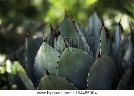 A blue agave plant in summer time.