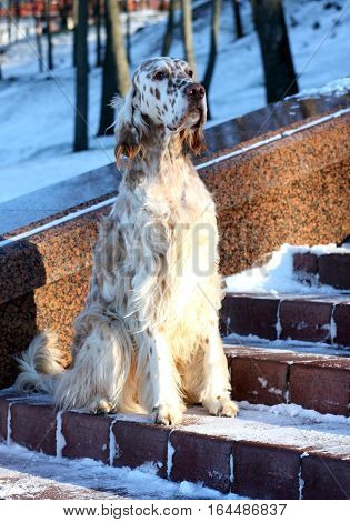 Regal white furry dog sitting on the bench, hunting breed english setter on christmas background