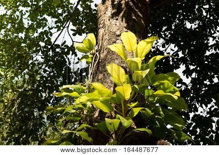 Tropical trees with parasitic plants growing on trunk.