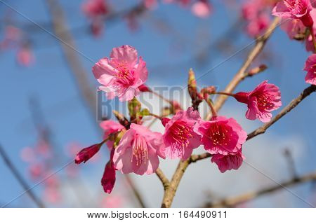 Beautiful pink wild Himalayan cherry blossom in full bloom. Sakura in Thailand