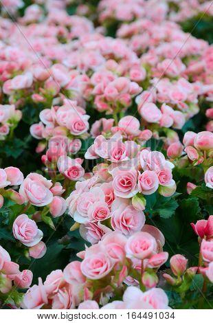 Beautiful Pink Tuberous big begonias in garden