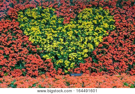 Beautiful Tuberous begonia wall with yellow begonia in heart shape